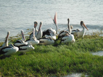 Stroll along the Cairns Esplanade and see abundant birdlife!